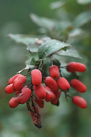 Berberis vulgaris, Barberry
