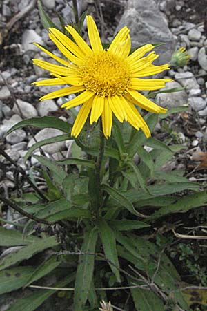 Buphthalmum salicifolium, Yellow Ox-Eye