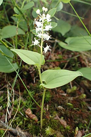 Maianthemum bifolium \ Schattenblümchen / May Lily, False Lily of the Valley, A Osttirol, Porze 13.7.2019