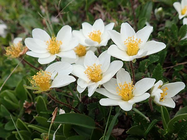 Dryas octopetala \ Silberwurz / Mountain Avens, A Trenchtling 3.7.2019