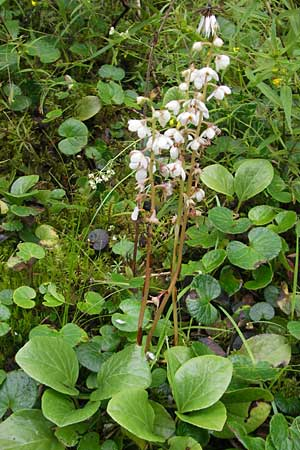 Pyrola rotundifolia, Round-Leaved Wintergreen