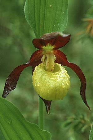 Cypripedium calceolus \ Gelber Frauenschuh / Lady's Slipper, Ladyslipper, A Lechtal, Martinau 2.6.1988