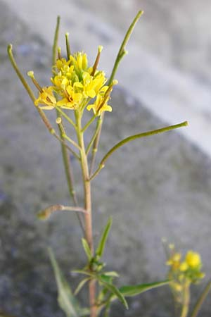 Sisymbrium irio \ Glanz-Rauke / London Rocket, Kreta/Crete Arhanes 1.4.2015