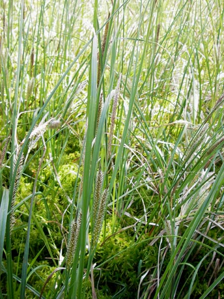 Carex rostrata \ Schnabel-Segge / Bottle Sedge, D Schwarzwald/Black-Forest,  Kaltenbronn 8.6.2013