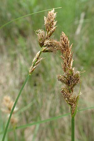 Carex vulpinoidea, American Fox Sedge, Brown Fox Sedge