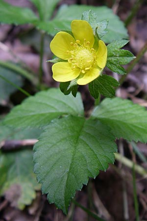 Duchesnea indica \ Indische Schein-Erdbeere / Yellow-flowered Strawberry, D Karlsruhe 19.7.2008