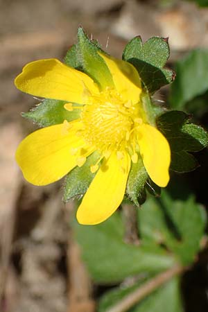 Duchesnea indica \ Indische Schein-Erdbeere / Yellow-flowered Strawberry, D Heidelberg 29.4.2017