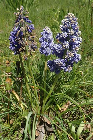 Muscari armeniacum \ Armenische Traubenhyazinthe / Armenian Grape Hyacinth, D Riedlingen 7.5.2016