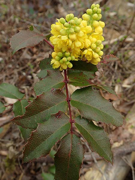 Mahonia aquifolium \ Mahonie / Oregon Grape, D Schwetzingen 9.4.2018