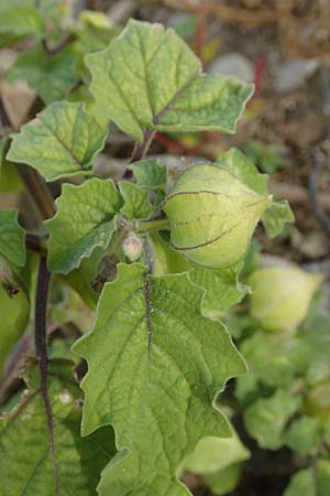 Physalis grisea, Downy Ground Cherry