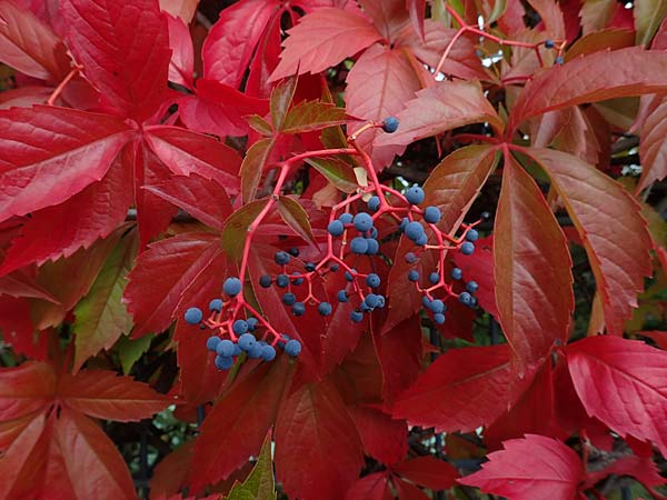 Parthenocissus inserta \ Wilder Wein / False Virginia Creeper, D Mannheim 20.9.2015
