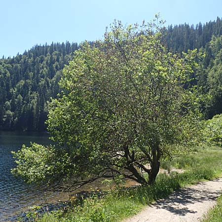 Salix appendiculata \ Schlucht-Weide / Large-Leaved Willow, D Feldsee 10.7.2016