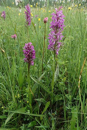Dactylorhiza majalis / Broad-Leaved Marsh Orchid, D  Pfronten 9.6.2016