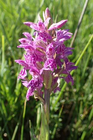 Dactylorhiza majalis / Broad-Leaved Marsh Orchid, D  Darmstadt 7.5.2018