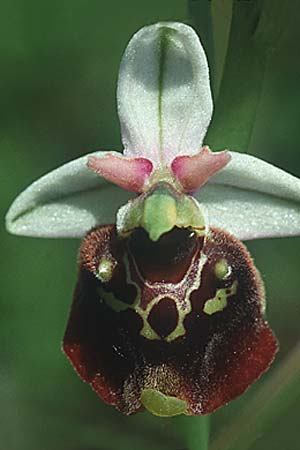 Ophrys holoserica \ Hummel-Ragwurz, D  Mosbach 10.6.1995