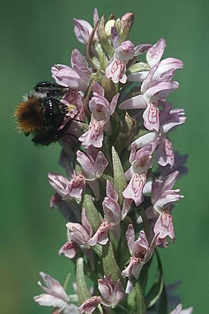 Dactylorhiza incarnata (mit Hummel / with bumble bee Bombus pascuorum) \ Fleischfarbene Fingerwurz / Early Marsh Orchid, D Kehl 18.6.2005
