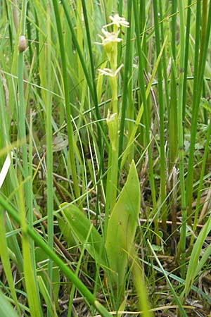 Liparis loeselii / Narrow-Leaved Fen Orchid, D  Murnau 20.6.2011