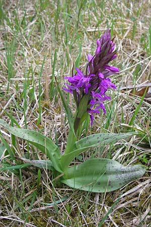 Dactylorhiza majalis / Broad-Leaved Marsh Orchid, D  Pfalz, Speyer 3.5.2013