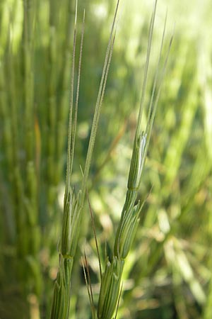 Aegilops cylindrica, Jointed Goatgrass