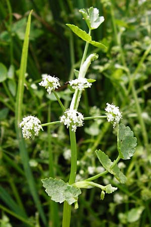 Apium nodiflorum \ Knotenblütige Sellerie / Fool's Water-Cress, D Friedberg 26.7.2014