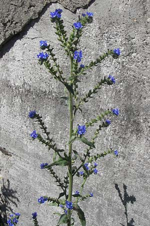Anchusa officinalis subsp. procera, Tall Bugloss