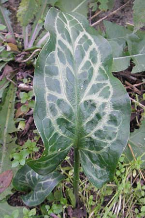 Arum italicum, Italian Lords and Ladies