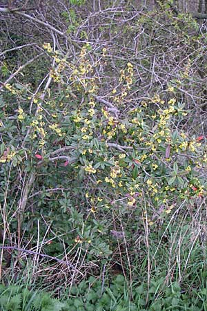 Berberis julianae \ Großblättrige Berberitze, Julianes Berberitze / Juliane's Barberry, D Ingelheim 5.4.2008