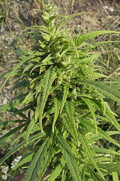 Cannabis sativa, Hemp