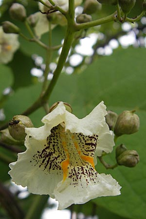 Catalpa bignonioides, Common Catalpa, Indian Bean Tree