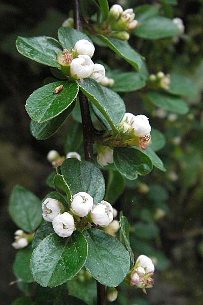 Cotoneaster horizontalis, Wall Cotoneaster