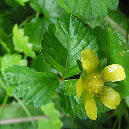 Duchesnea indica \ Indische Schein-Erdbeere / Yellow-flowered Strawberry, D Schriesheim-Altenbach 5.8.2006