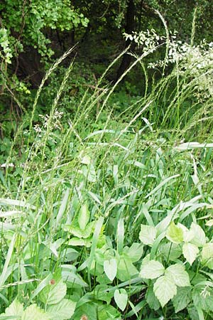 Elymus caninus \ Hunds-Quecke / Bearded Couch, D Groß-Gerau 29.5.2014