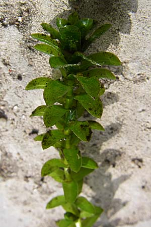 Elodea canadensis, Canadian Waterweed