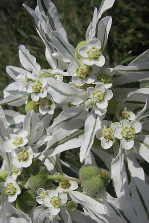 Euphorbia marginata, Variegated Spurge, White-Margined Spurge