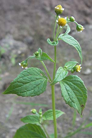 Galinsoga parviflora, Gallant Soldier