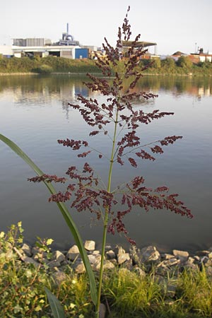 Sorghum halepense, Johnson Grass