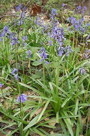 Hyacinthoides non-scripta, English Bluebell