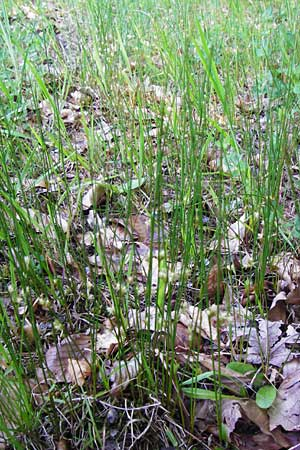 Juncus filiformis \ Faden-Binse / Thread Rush, D Zwiesel 9.6.2014