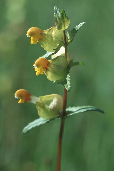 Rhinanthus minor, Yellow-Rattle