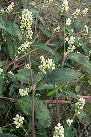 Persicaria maculosa, Floh-Kn�terich