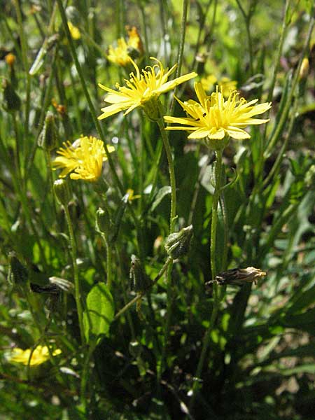 Crepis capillaris, Smooth Hawk's-Beard