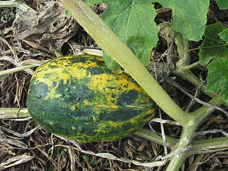 Cucurbita pepo \ Kürbis / Marrow, D Lampertheim 15.10.2006