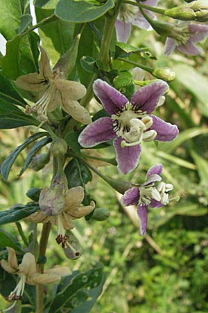 Lycium chinense, China Tea-Plant