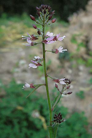 Circaea glabrescens <b>?</b>, Pink Enchanter's Nightshade