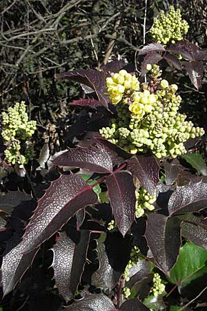 Mahonia aquifolium, Oregon Grape