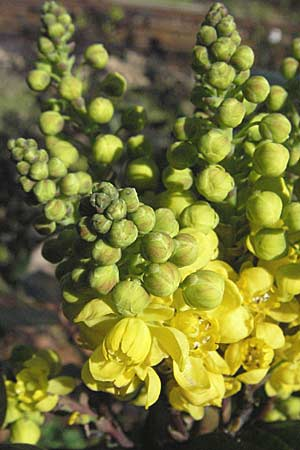 Mahonia aquifolium \ Mahonie / Oregon Grape, D Schwetzingen 4.3.2007