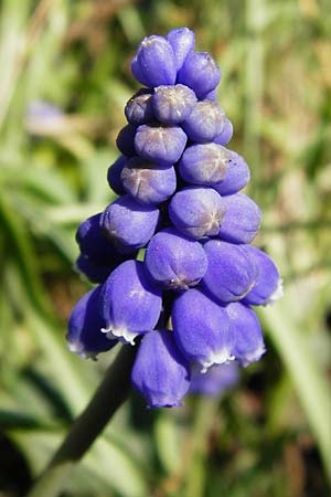 Muscari armeniacum \ Armenische Traubenhyazinthe / Armenian Grape Hyacinth, D Odenwald, Birkenau 20.3.2014