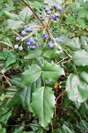 Mahonia aquifolium \ Mahonie / Oregon Grape, D Alsbach 30.6.2014
