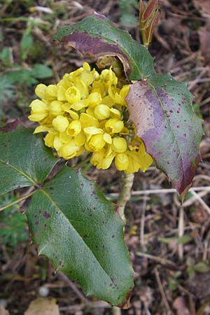 Mahonia aquifolium \ Mahonie / Oregon Grape, D Mainz 21.4.2012