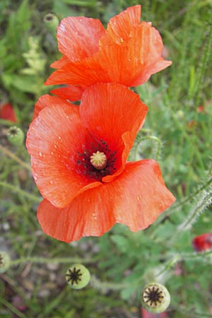 Papaver rhoeas, Common Poppy